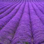 Purple Ridges
